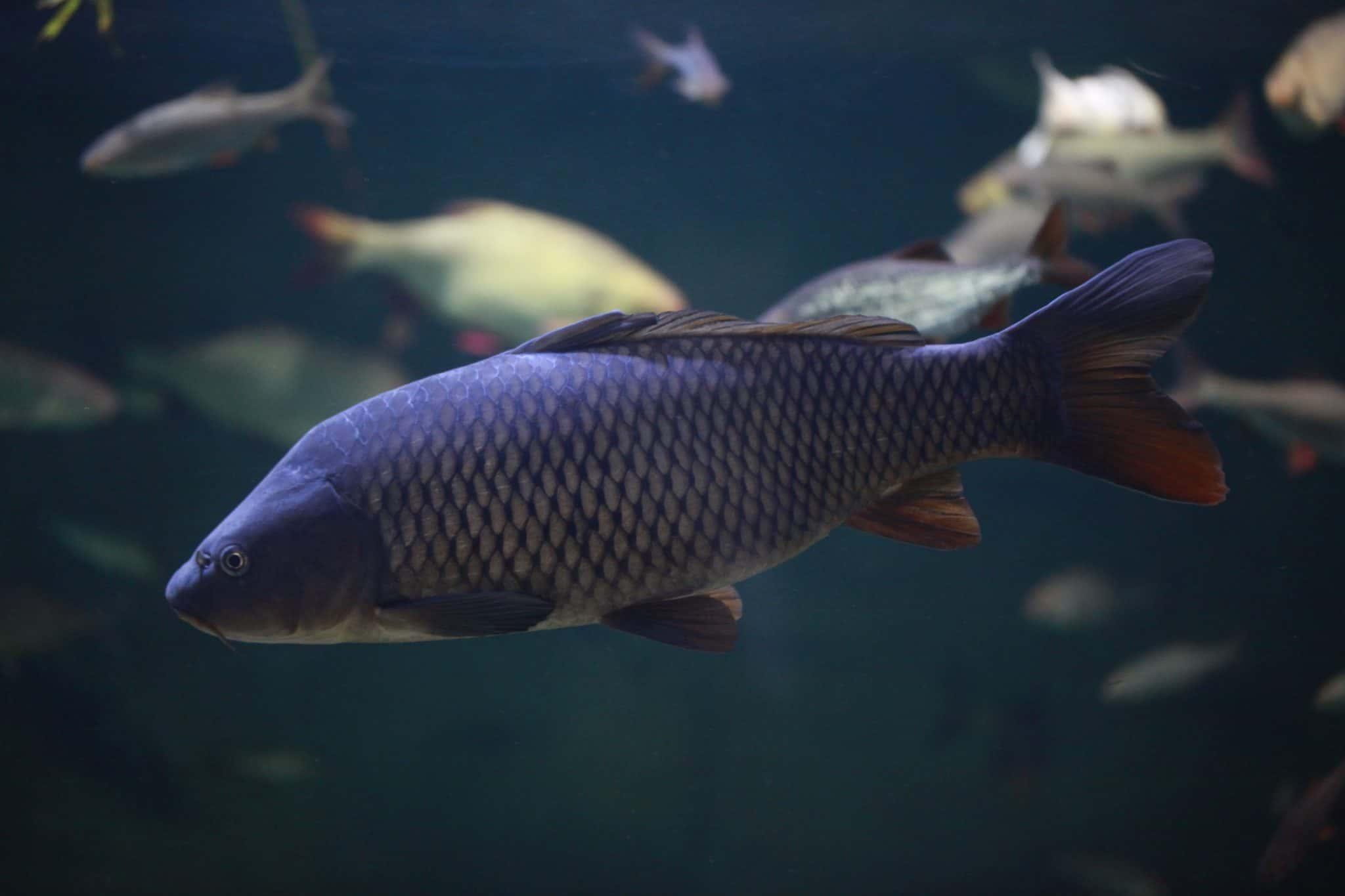 Carpe commune - Aquarium de Paris