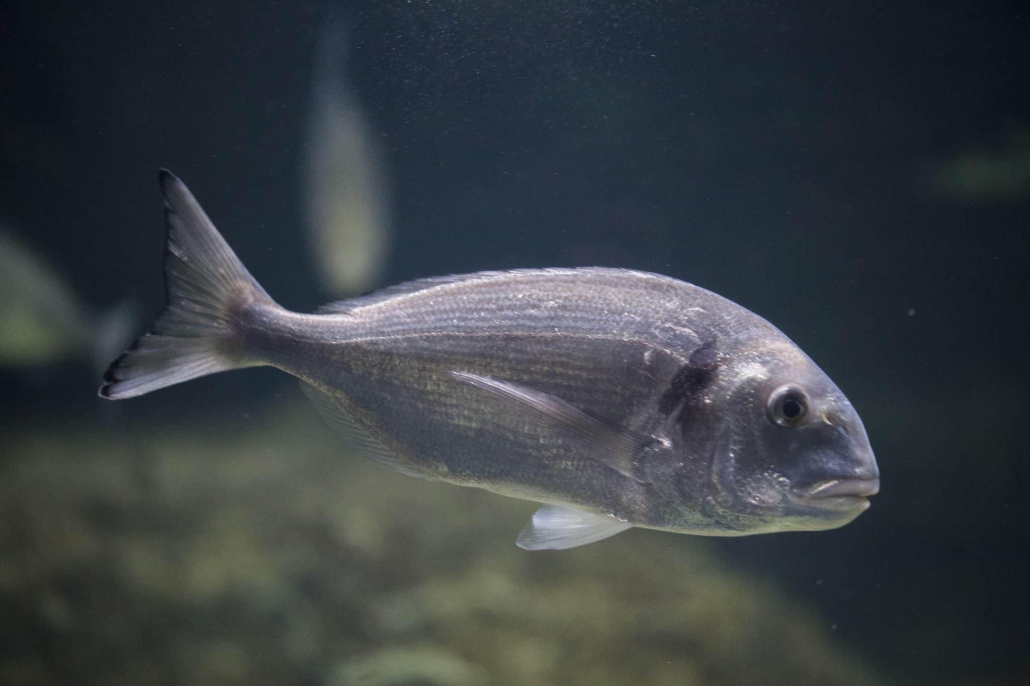Dorade royale - Aquarium de Paris