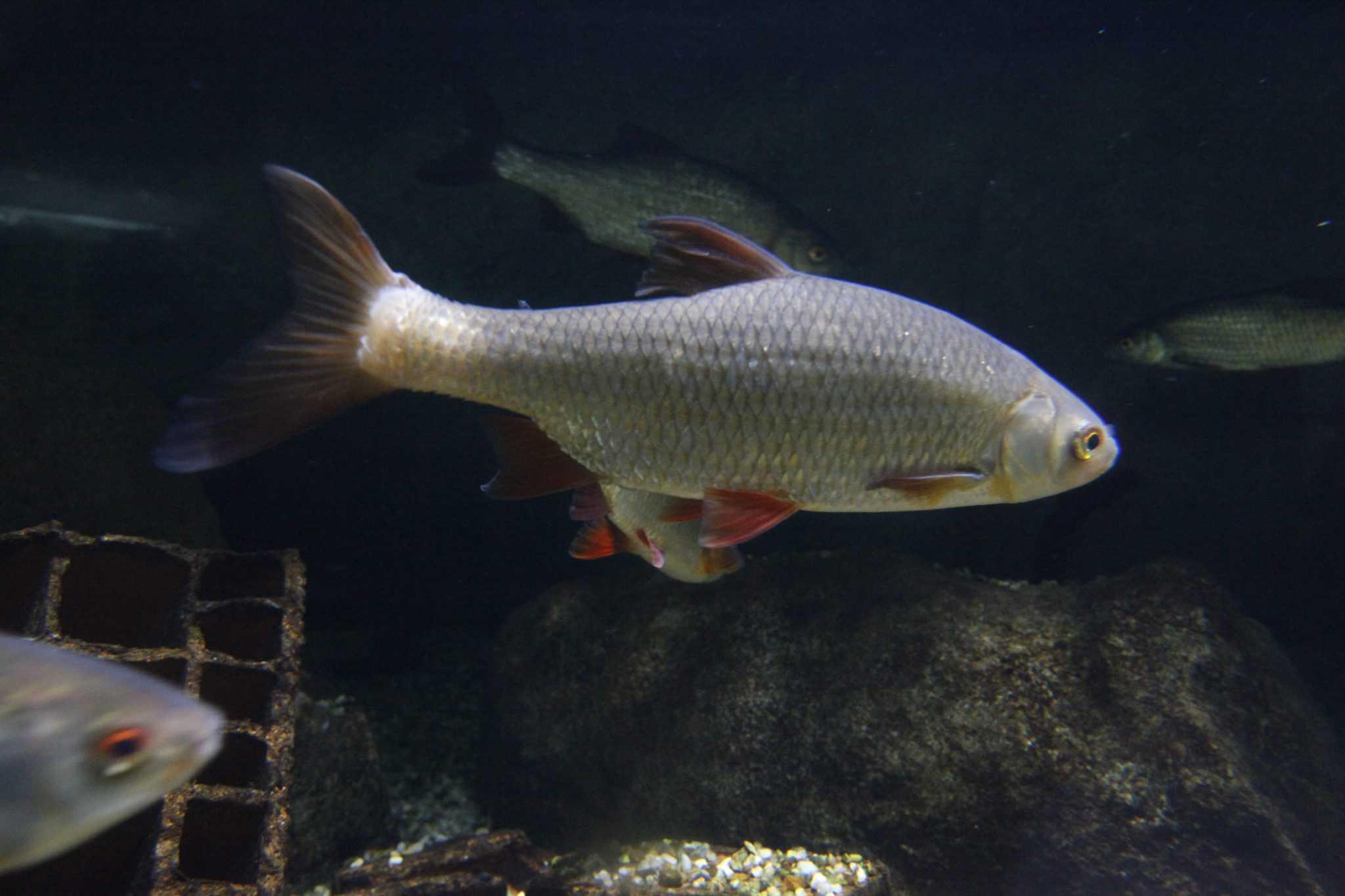 Gardon - Aquarium de Paris