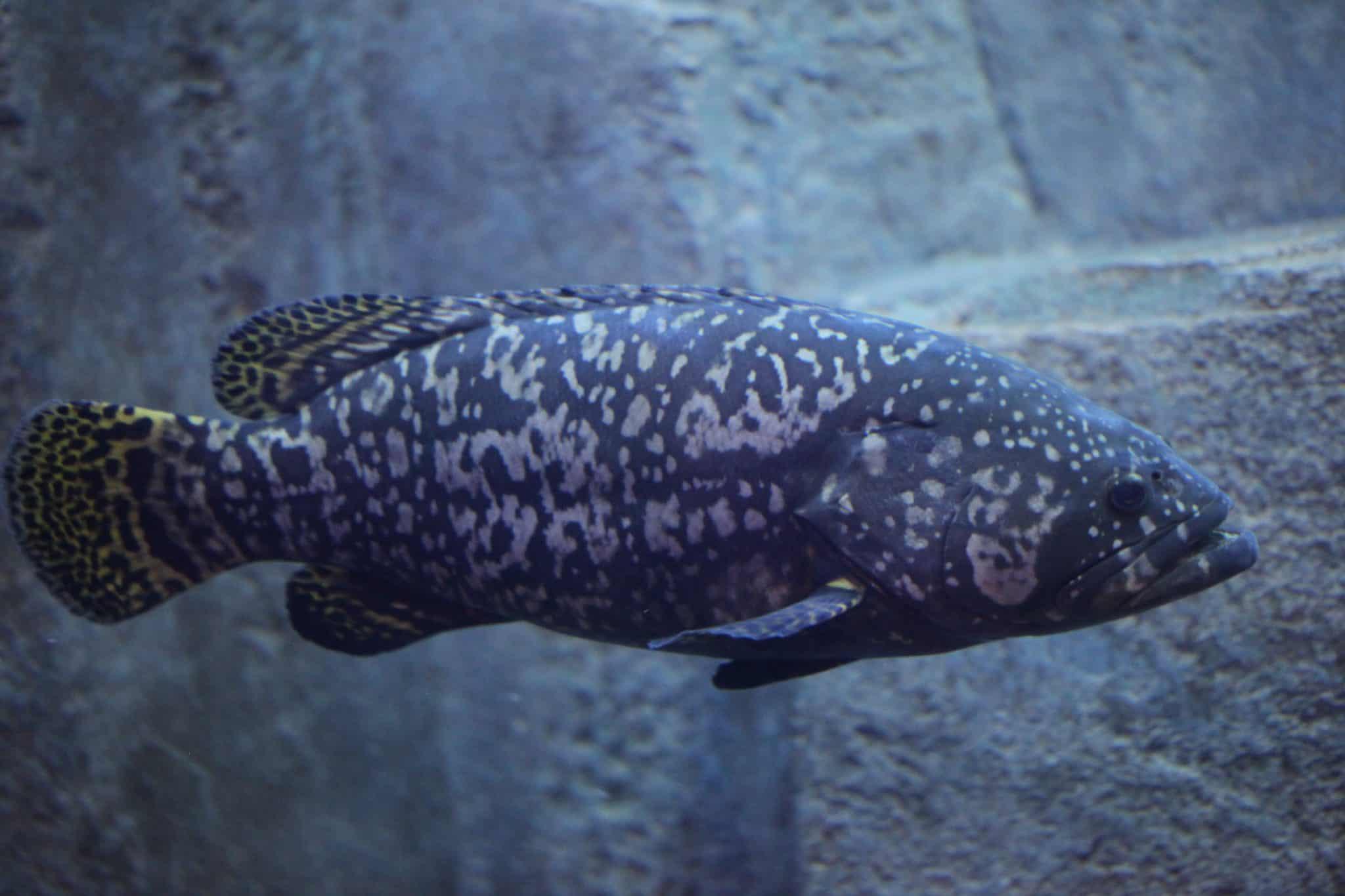 Mérou brun - Aquarium de Paris