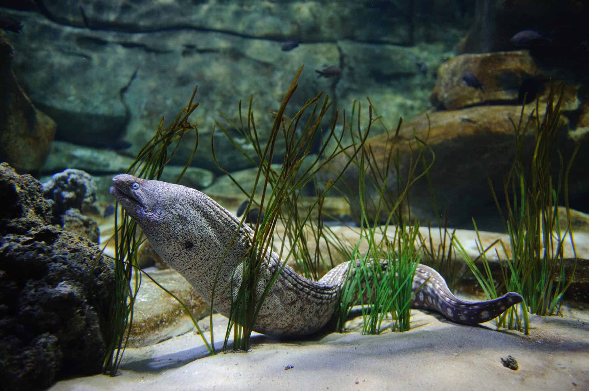 Murène commune - Aquarium de Paris