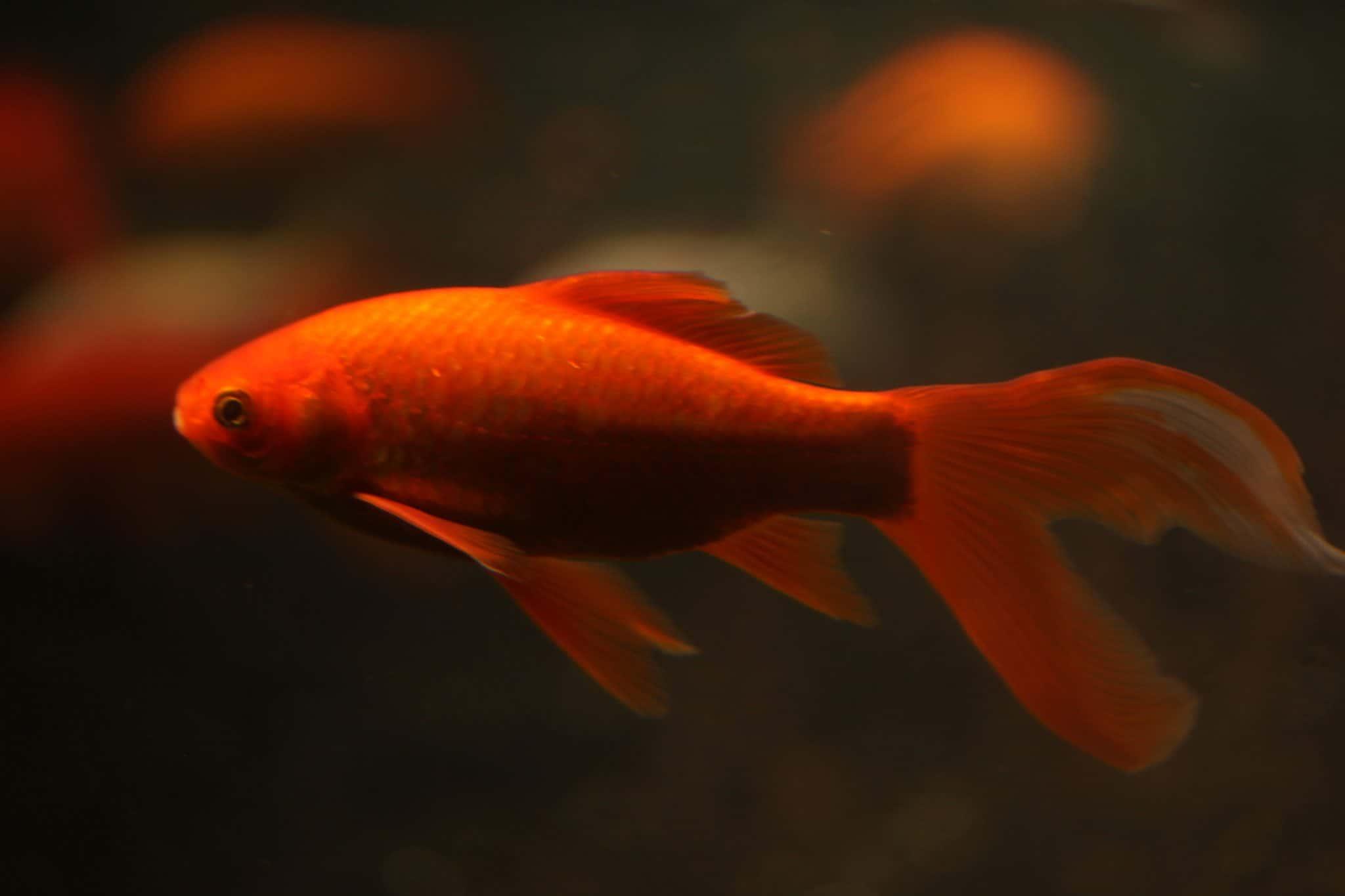 Poisson rouge - Aquarium de Paris