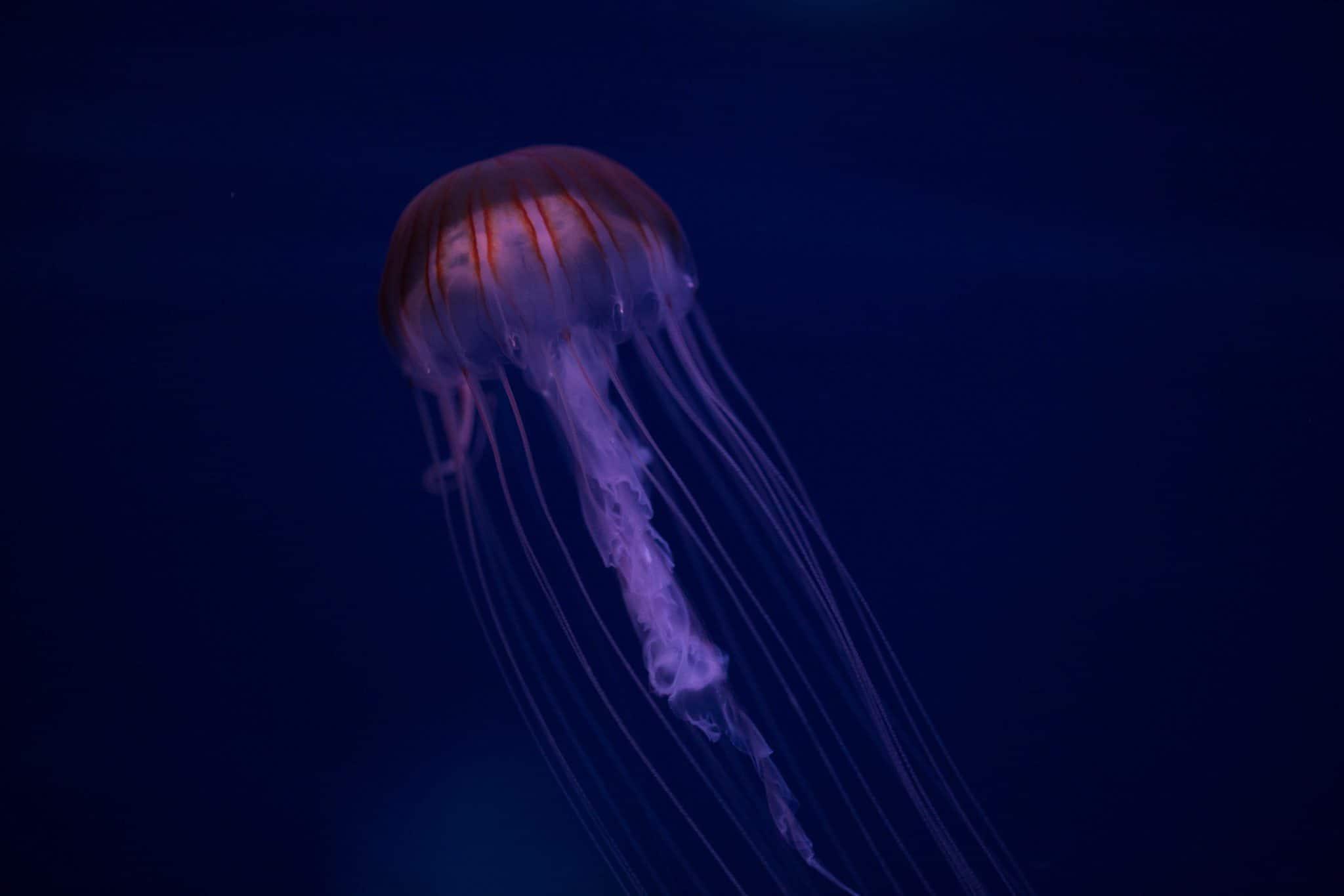Méduse chrysaora pacifica - Aquarium de Paris