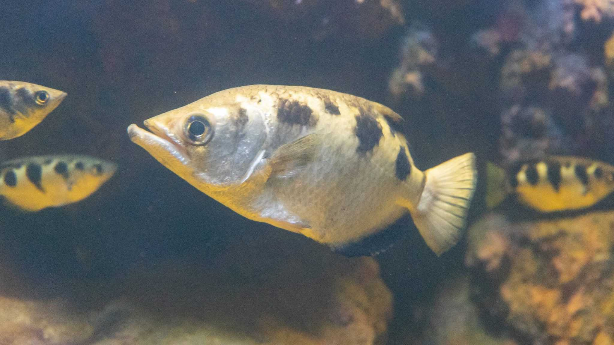 Poisson archer (toxotes jaculatrix) - Aquarium de Paris