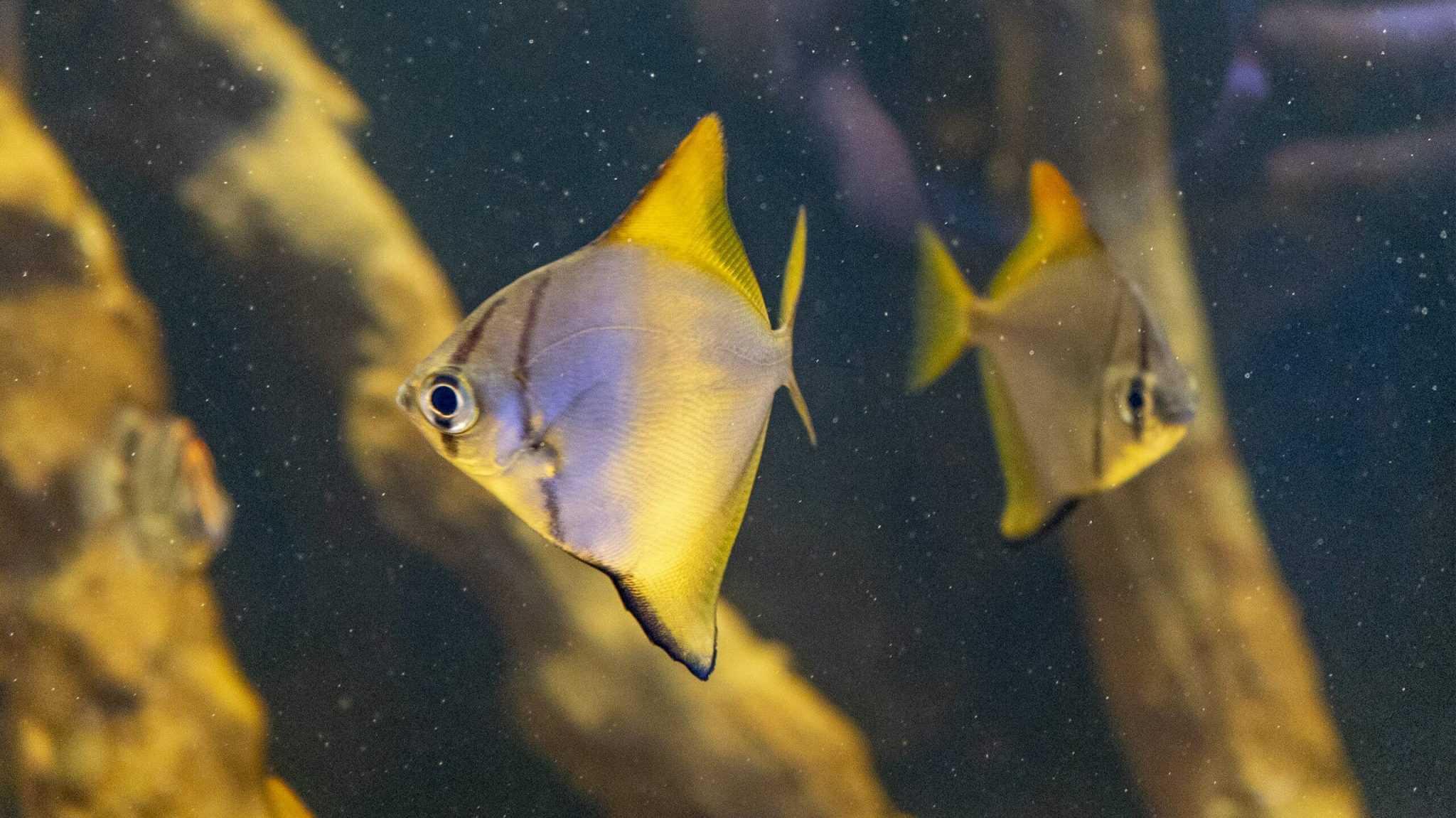 poisson lune argenté - Aquarium de Paris